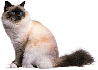 birman cat breeders info pets kittens animal domestic