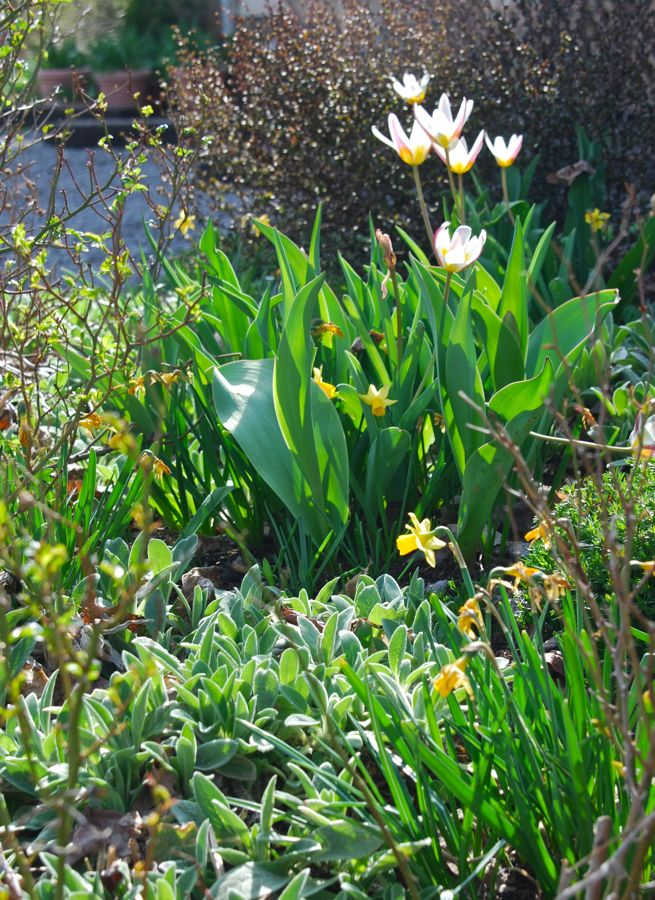 On the Hill Garden, Tulipa 'Ice Stick' are reblooming again this year. Again, they make a great combination with Narcissus 'Tete-e-tete'. Last year, these were blooming in March!  Bulbs tend to perennialize better in areas that are very dry in the summer months. Most bulbs detest wet feet, excepting a  special few that are actually damp-lovers, like Camassia.