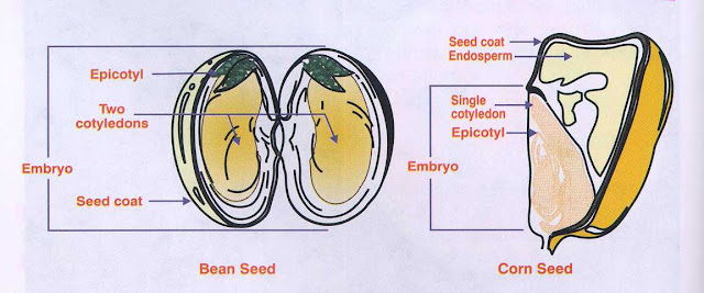 Dicot and Monocot seed