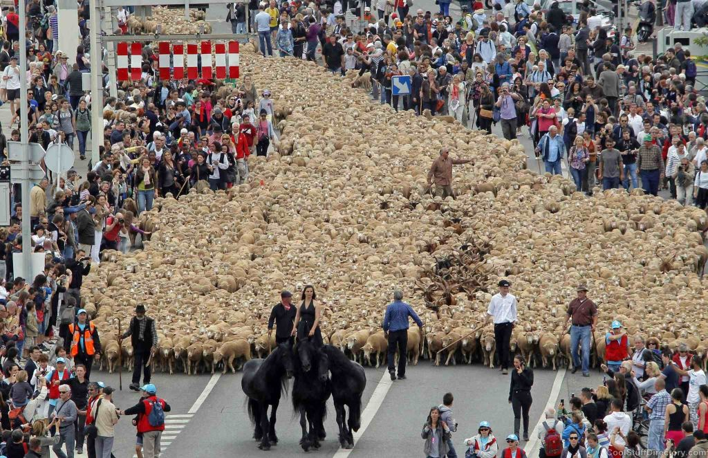 Rider leads thousands of sheep in Marseille during the traditional season of migration, France