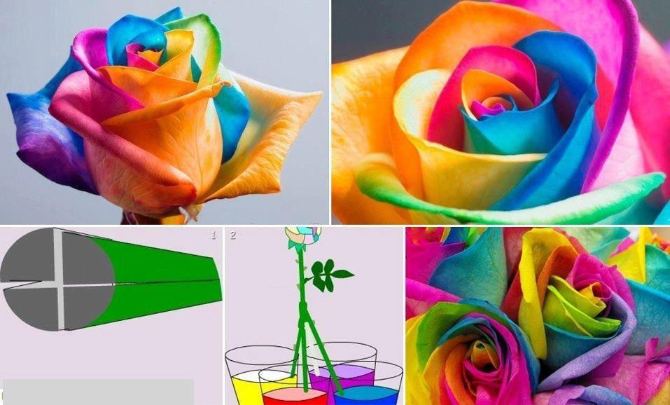 cultivo rosas jardim:Rosas – Cultivo e manutenção