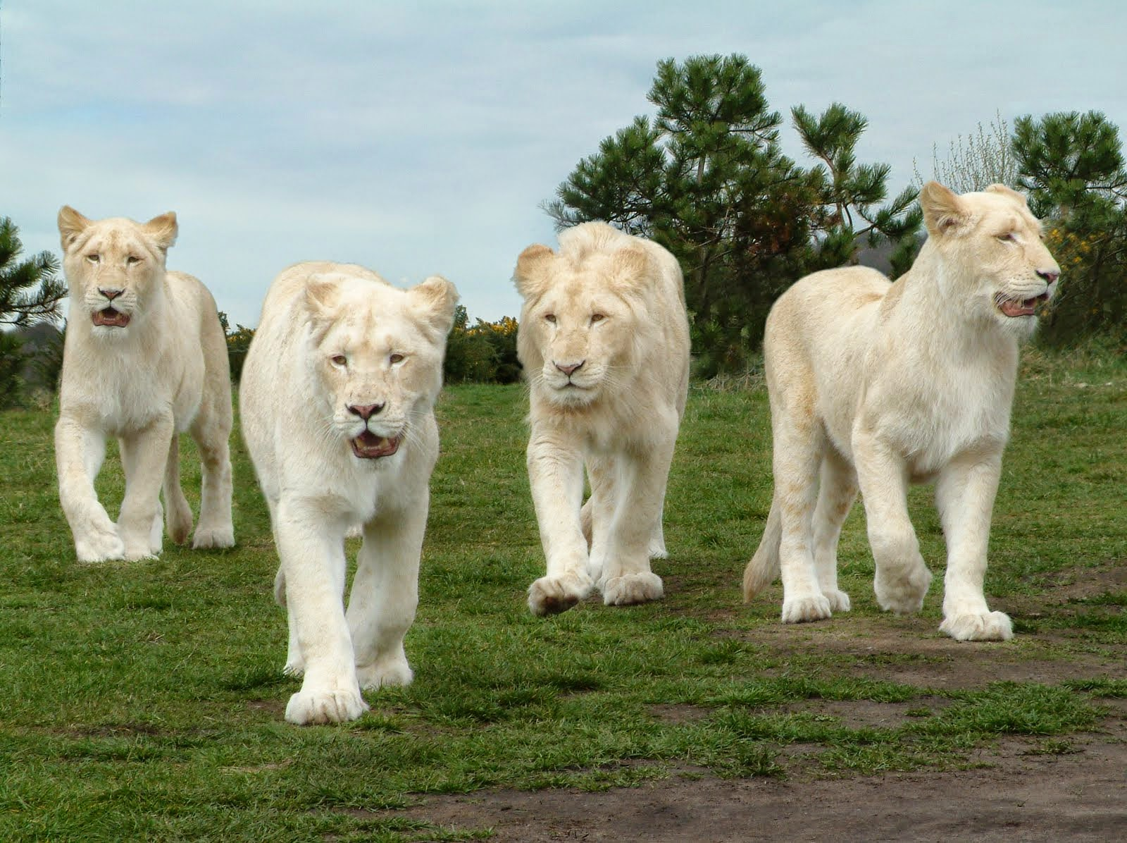 Amazing White Lions Wallpapers