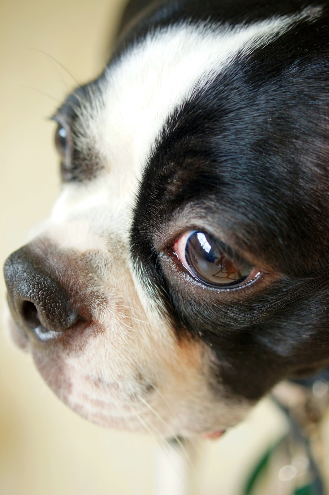 Super cute Boston Terrier