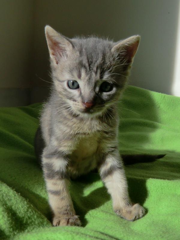 Adopta peludos perros y gatos en adopcion adoptado - Gatitos de un mes ...