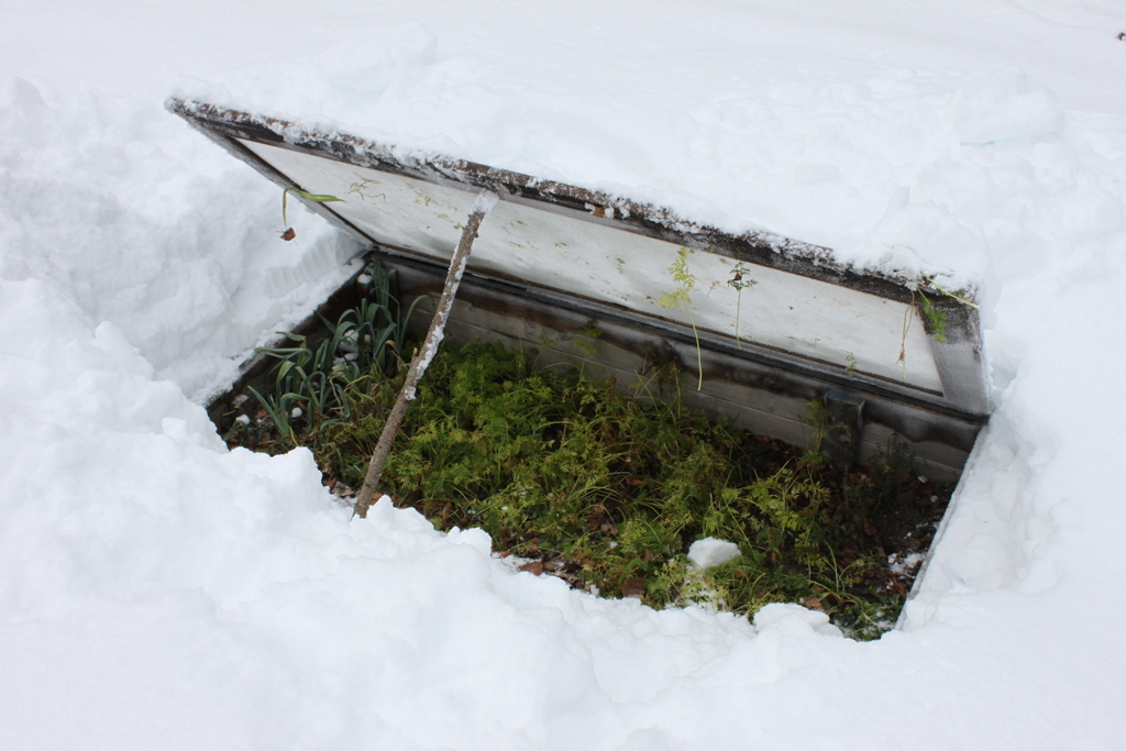 Growing carrots in a cold frame through the winter