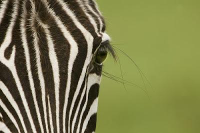 Google Zebra filter