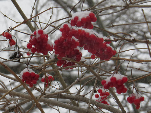 snow on highbush cranberry