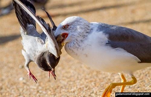 Jom Saksikan Kekejaman Burung Camar Membunuh Burung Merpati