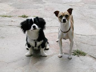 How To Train Your Chihuahua or Chiwawa Dog Breed