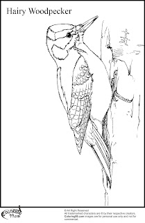 hairy woodpecker coloring pages