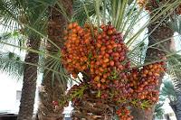 manfaat buah kurma