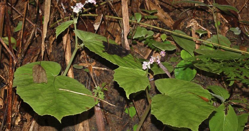 Species New To Science Botany 2012 Begonia Bella A