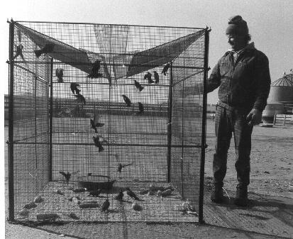 cara membuat jebakan burung arena burung