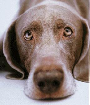 Sad Eyes of a Dog