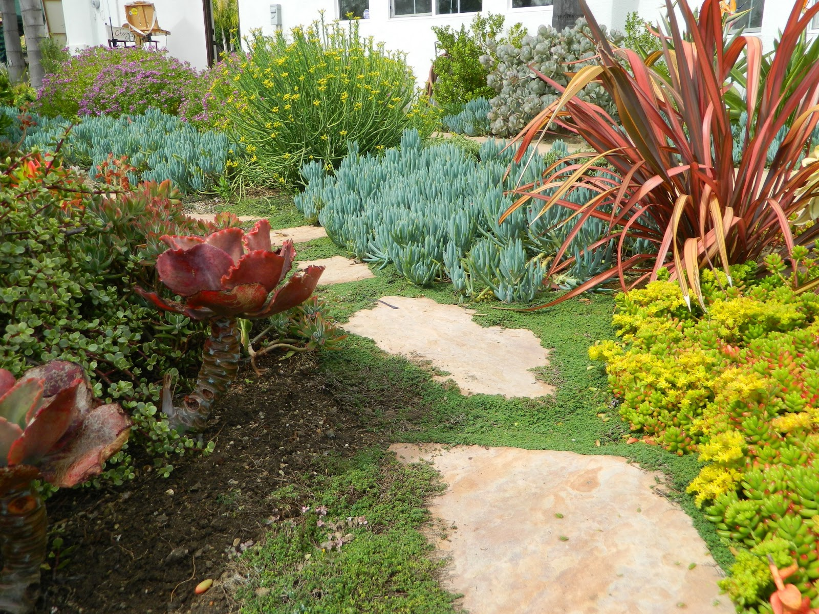 Elfin Thyme Surrounds The Pavers And The Garden Is Filled With Numerous  Varieties Of Succulents