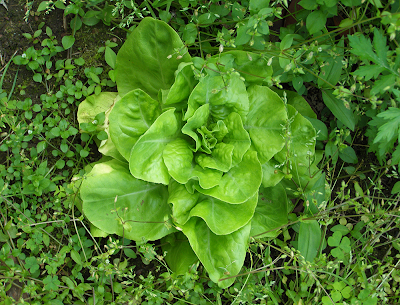 Perfect Green Leaf Lettuce Plant Amongst the Weeds