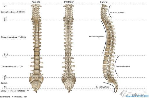 La columna vertebral considerada en su conjunto - Anatomía Descriptiva