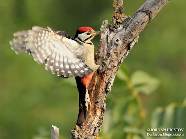 Great spotted Woodpecker photography in Bulgaria