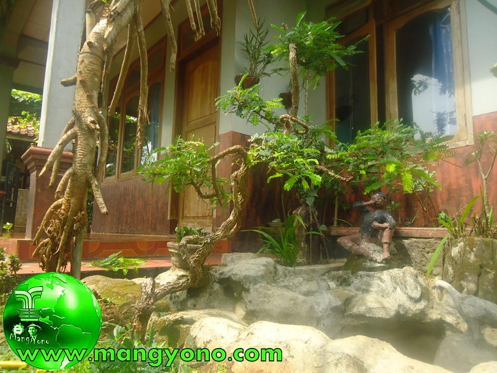 Pemangkasan pemeliharaan pada bonsai asem jawa
