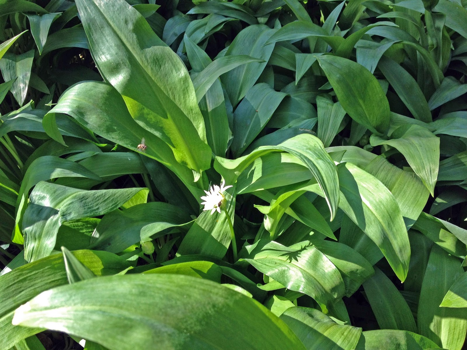 wild garlic - sometimes called ramps
