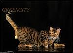 Тойгер-тигр