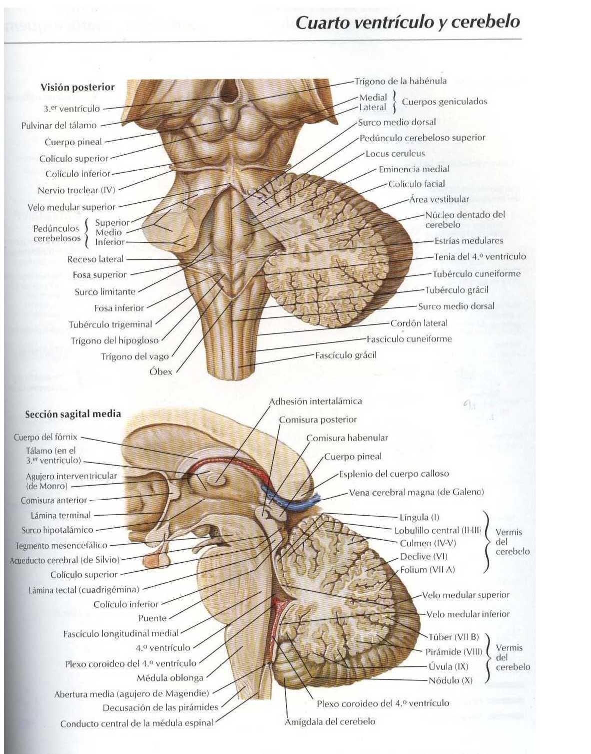 Atlas: Cuarto ventrículo y cerebelo - Salud, vida sana, la medicina ...