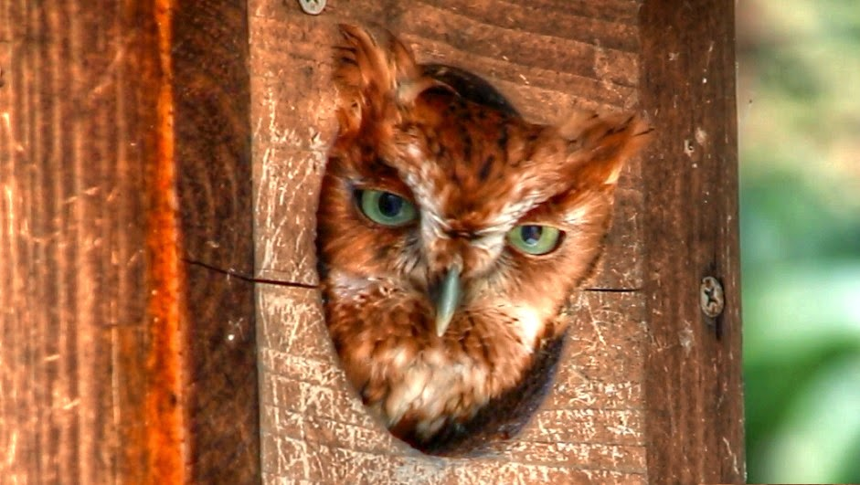 Red Morph Eastern Screech Owl Haunting Calls