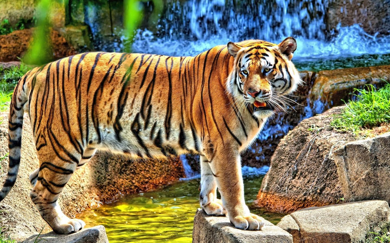 http://4.bp.blogspot.com/-Va-8GPwpHP0/UFclF97KgwI/AAAAAAAAGmc/nrsP0XIf-Hk/s1600/hdr-young-tiger-1440x900-wallpaper-10748.jpg