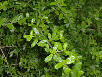 Moujean Tea (Nashia Inaguensis) Overview, Health Benefits, Side effects