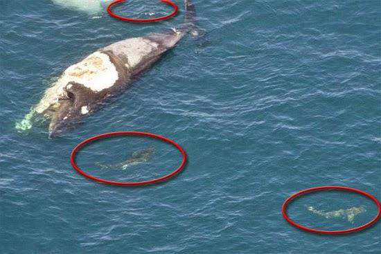 carcaça de baleia e tubarões