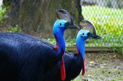 cassowary bird pictures