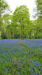 Bluebells in Roeburndale