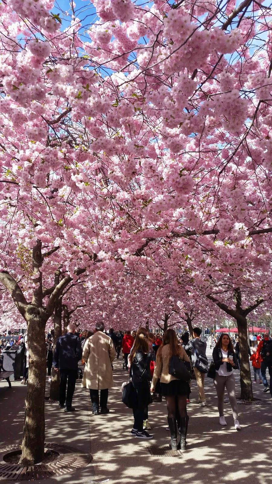 Körsbärsträden i Kungsträdgården, Stockholm