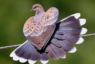 Burung Perkutut Rajin Bunyi Cara Merawat Perkutut Liar Gacor