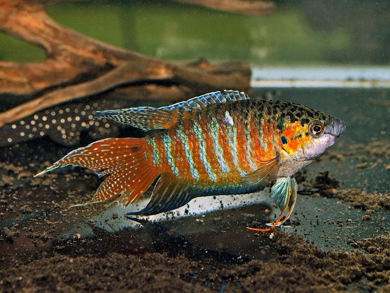 Paradise Fish Origan Taiwan Fish ~ planetanimalzone Rare Freshwater Fish