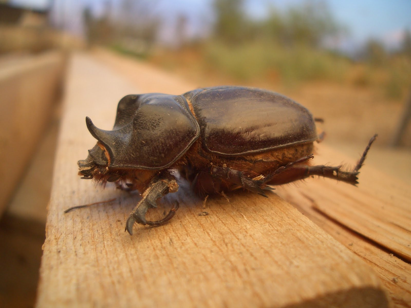 """rhinoceros beetle susan hawthorne """"rhinoceros beetle"""" by susan hawthorne is a story about a boy's childhood obsession which becomes a reality when he grows into a man the story presents ideas and assumptions which viewers."""