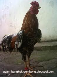 Warna Bulu Ayam Bangkok Perlu Diperhatikan