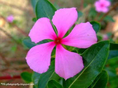 Rosy Periwinkle Flower