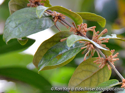Rusty-leaf Mistletoe (Scurrula ferruginea)