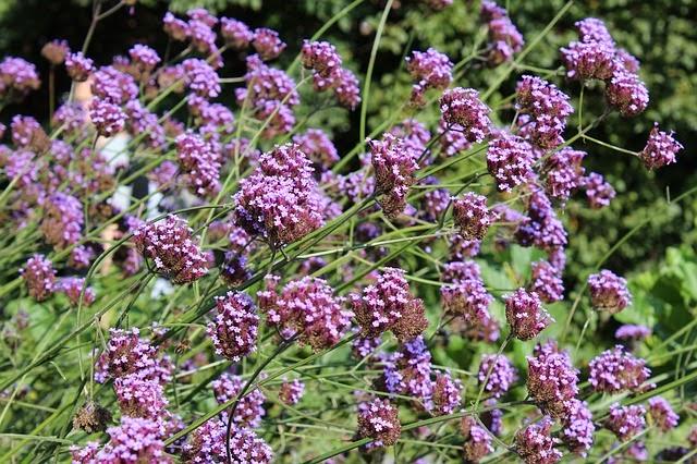 Life between the flowers verbena bonariensis for Tall flowering shrubs