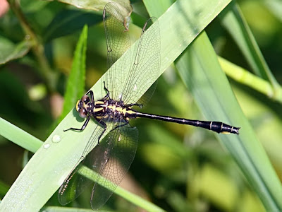 Rapids Clubtail