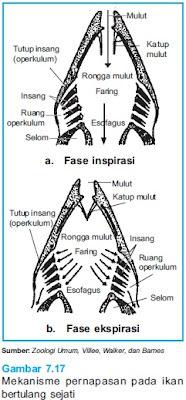 Sistem Pernafasan Pada Ikan