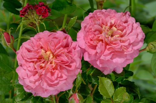 Christopher Marlowe rose сорт розы фото