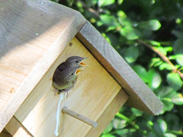 house wrens beg more insistently