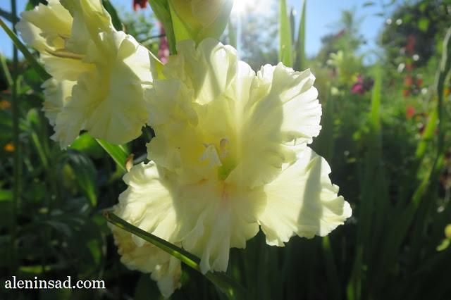 гладиолусы, зеленые, гофрированные лепестки, первого года цветения