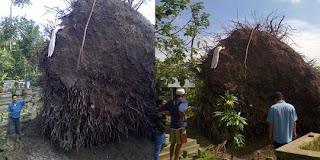 Ada Puluhan kerangka Mayat di akar pohon yang tumbang ini