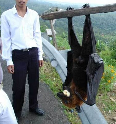 World's_Biggest_Bat http://lovely-wallpapers4u.blogspot.com/2011/07/world-biggest-bat.html