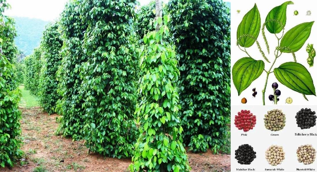 pepper farming business plan