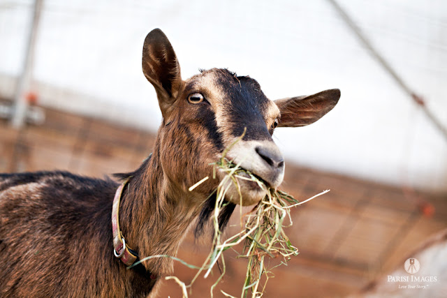 this beautiful life sarah parisi baby_kid_nubian_goat_kilpatrick_family_farm_new_york_photography