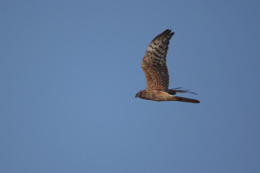 Montagu's Harrier - juvenile